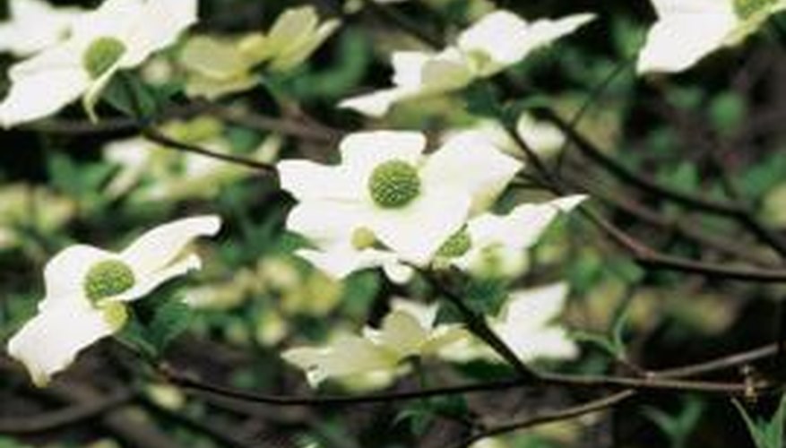 Regular light fertilization will keep your dogwood healthy.