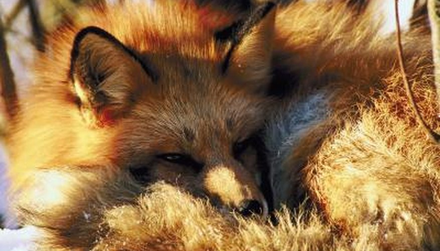 A closeup of a red fox.