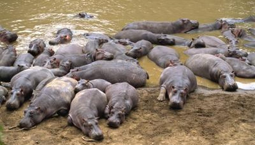 A herd of hippopotamus bathe and rest in the mud.