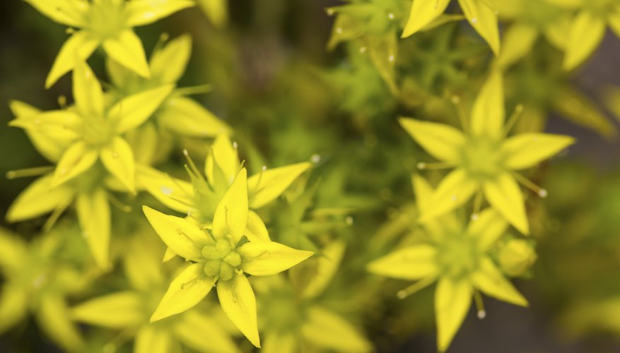 Goldmoss stonecrop features evergreen foliage and golden blooms.