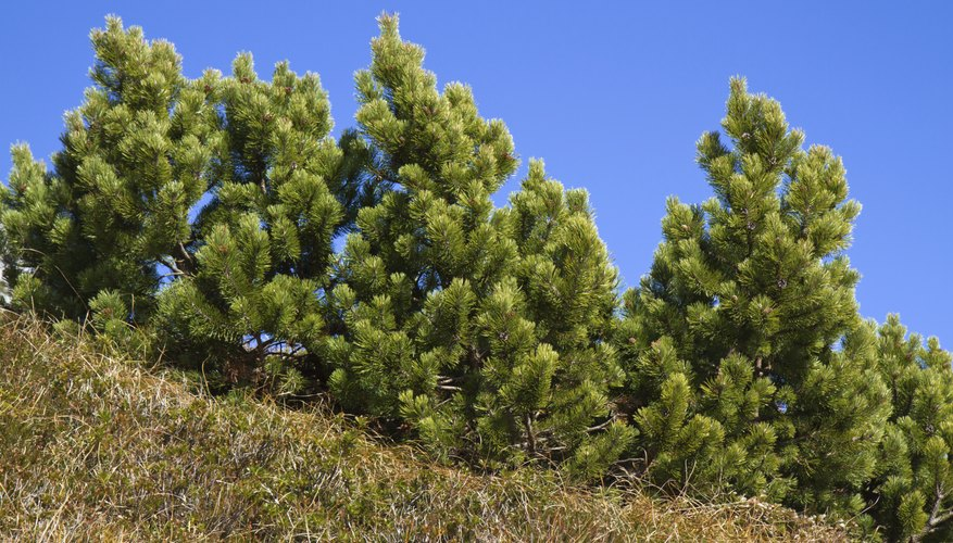 Mugo pine is adaptable to a wide variety of soils.