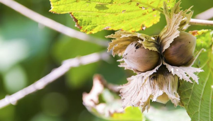 Hazelnuts grow on a branch.