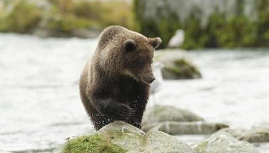 A brown bear hunts for fish on a rock in the river.