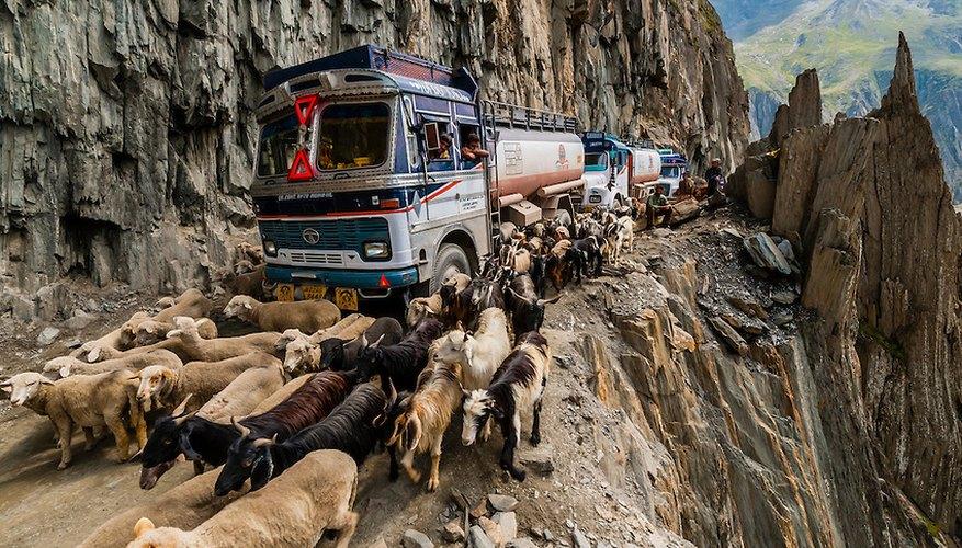Camioneros conduciendo entre un rebaño de ovejas en el paso de Zoji La