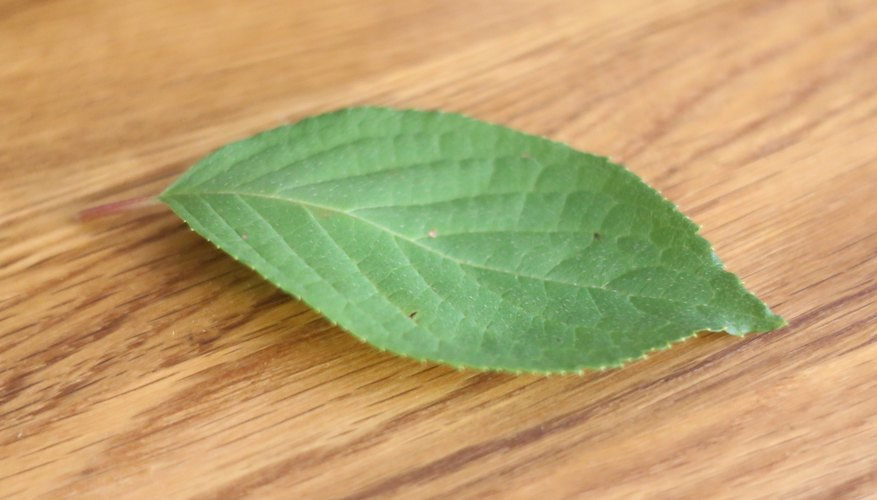 How to Remove Chlorophyll From Leaves | Sciencing