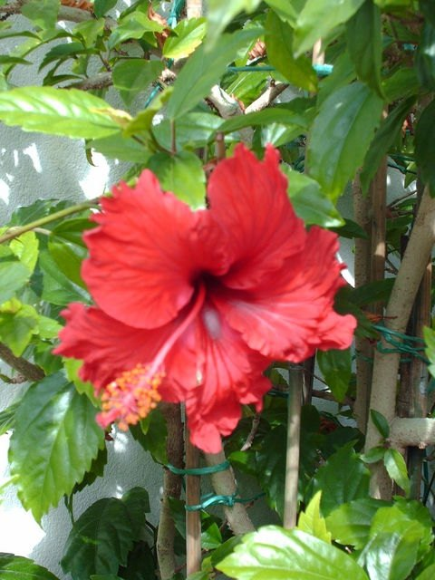 How To Transplant Hardy Hibiscus Ehow