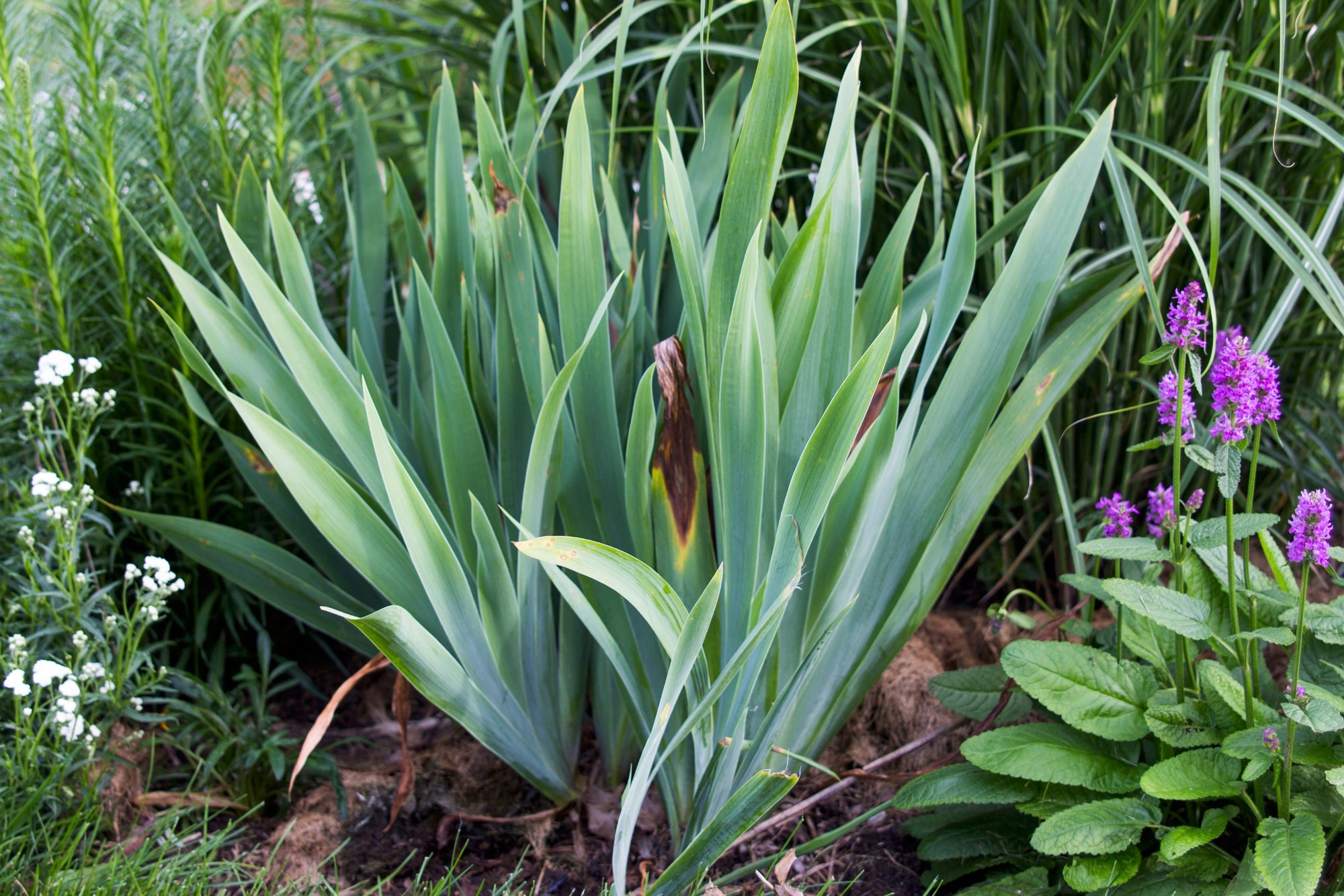 How To Divide And Transplant Bearded Irises Ehow