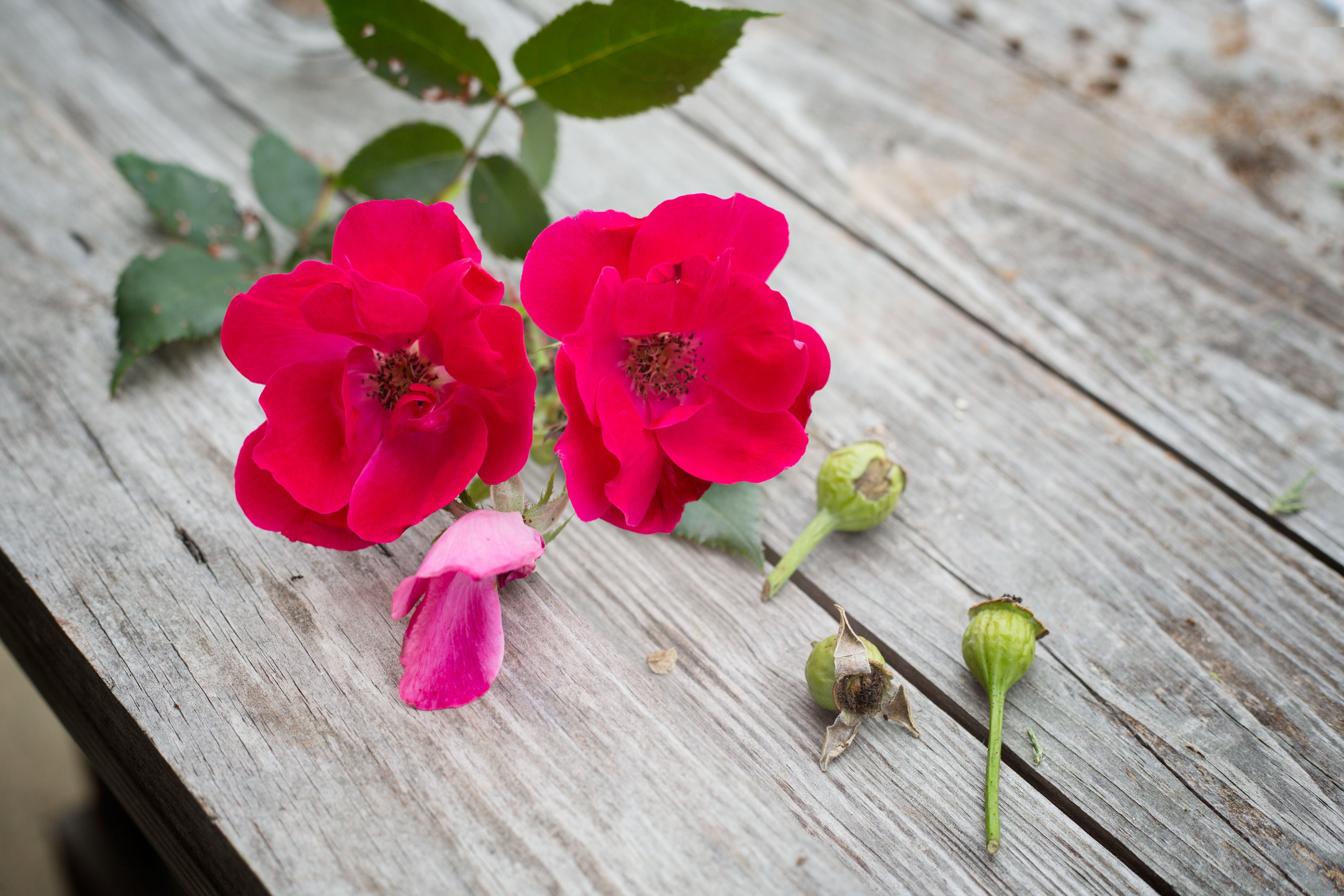 How To Plant Rose Seeds With Pictures Ehow