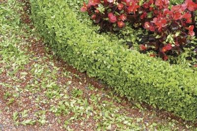 A low hedge of pachysandra grows around the perimeter of a flower bed.