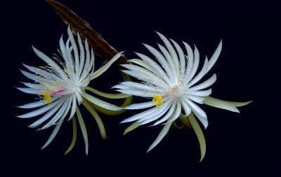 Queen of the night blooms open during night and last until noon the next day.