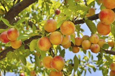 peach tree with fruit