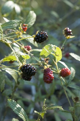 How To Protect Thornless Blackberries During Winter Ehow
