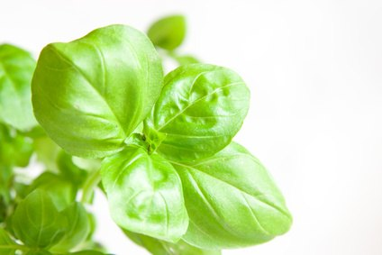 How Much Sun Does A Basil Plant Need Ehow