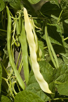 Fertilizer For Pole Beans Ehow