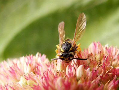 Species Of Wasps Found In Oklahoma Ehow