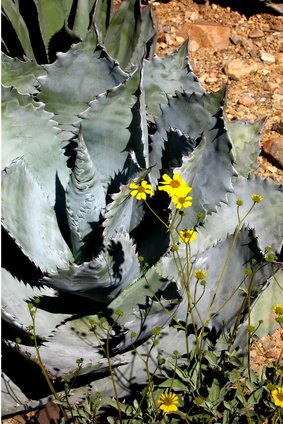 Is The Agave Plant Poisonous To Dogs Ehow