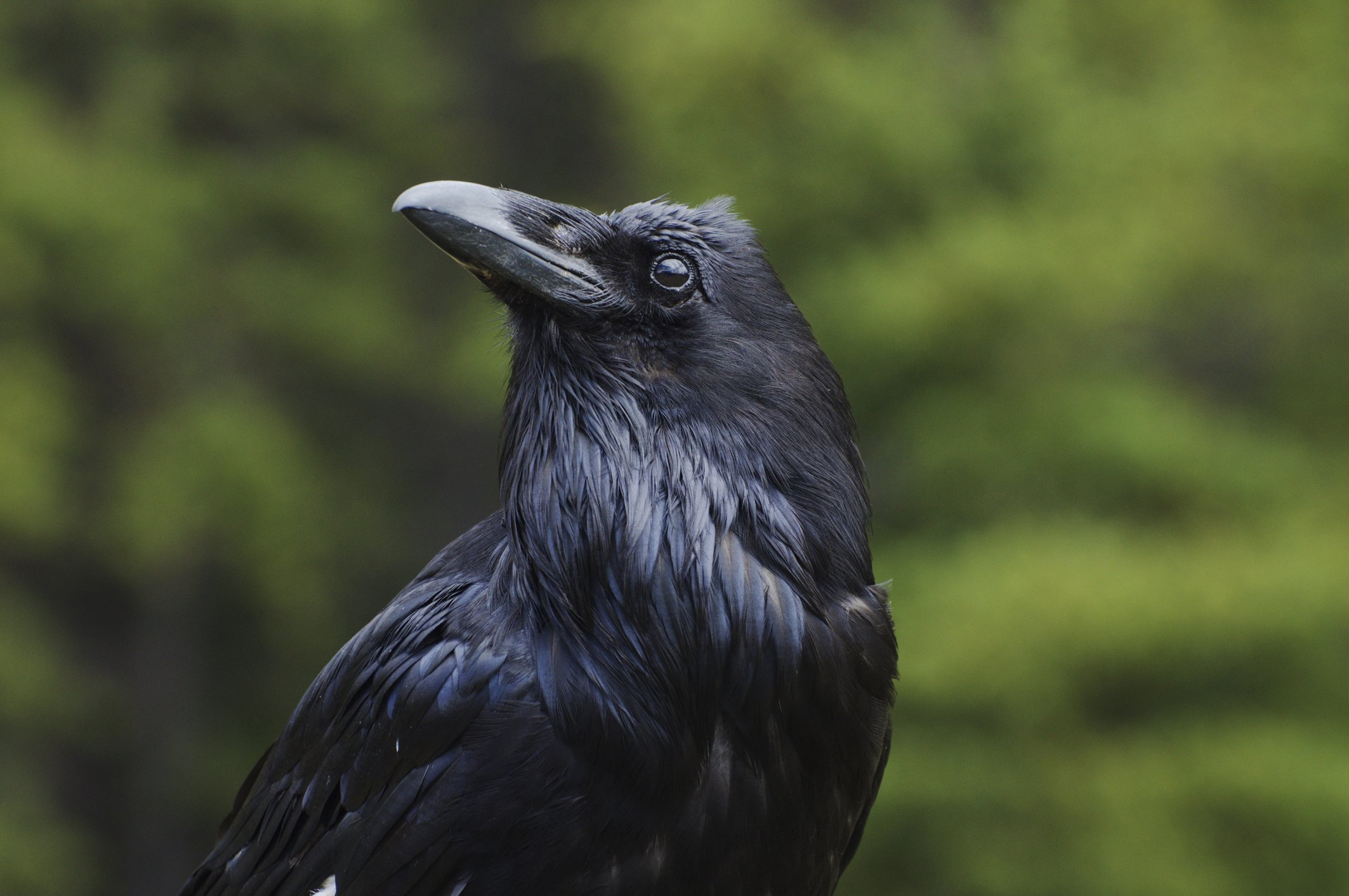 How To Keep Crows Out Of The Garden With Pictures Ehow