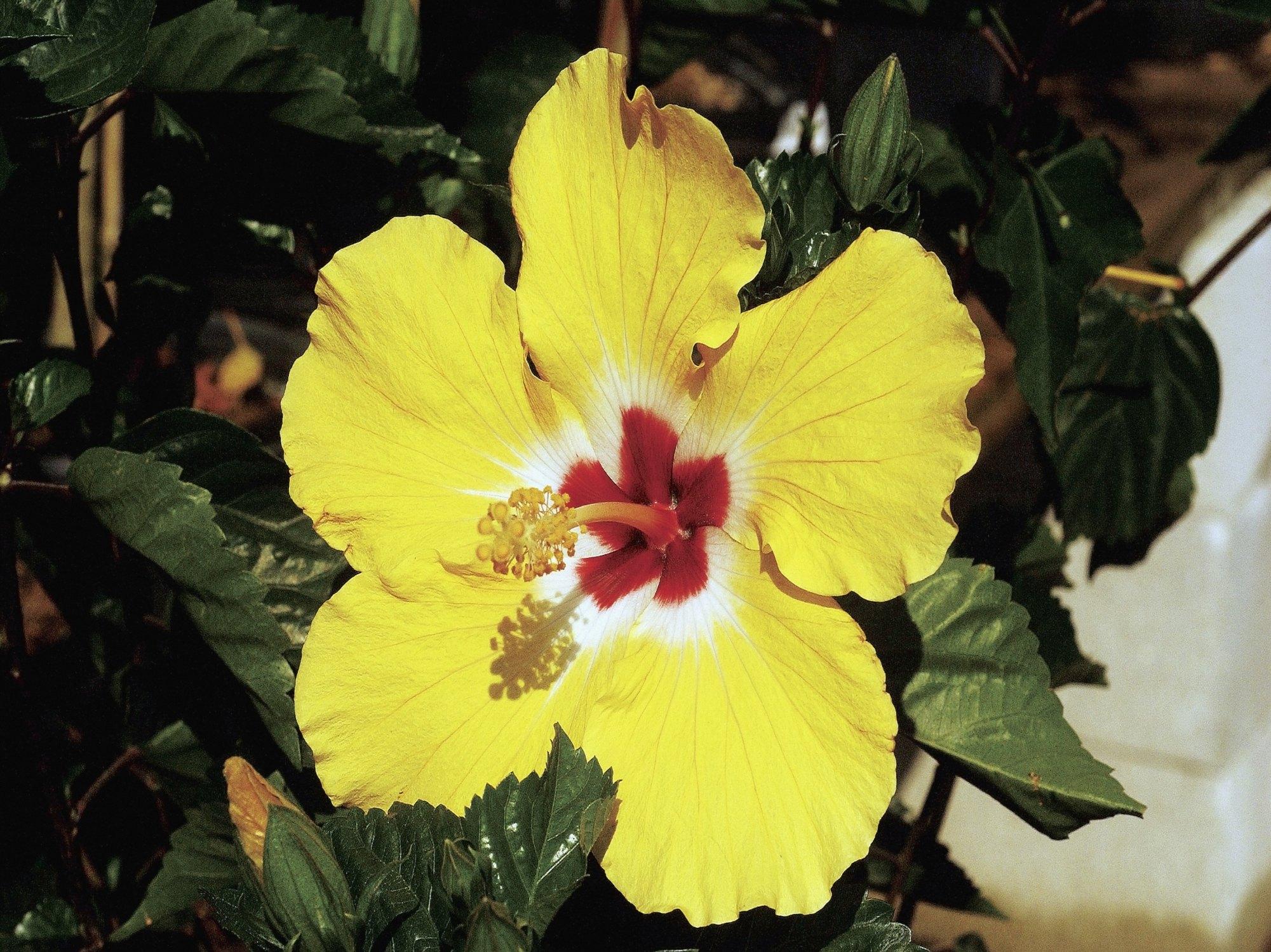 Do You Deadhead Hibiscus Flowers Ehow