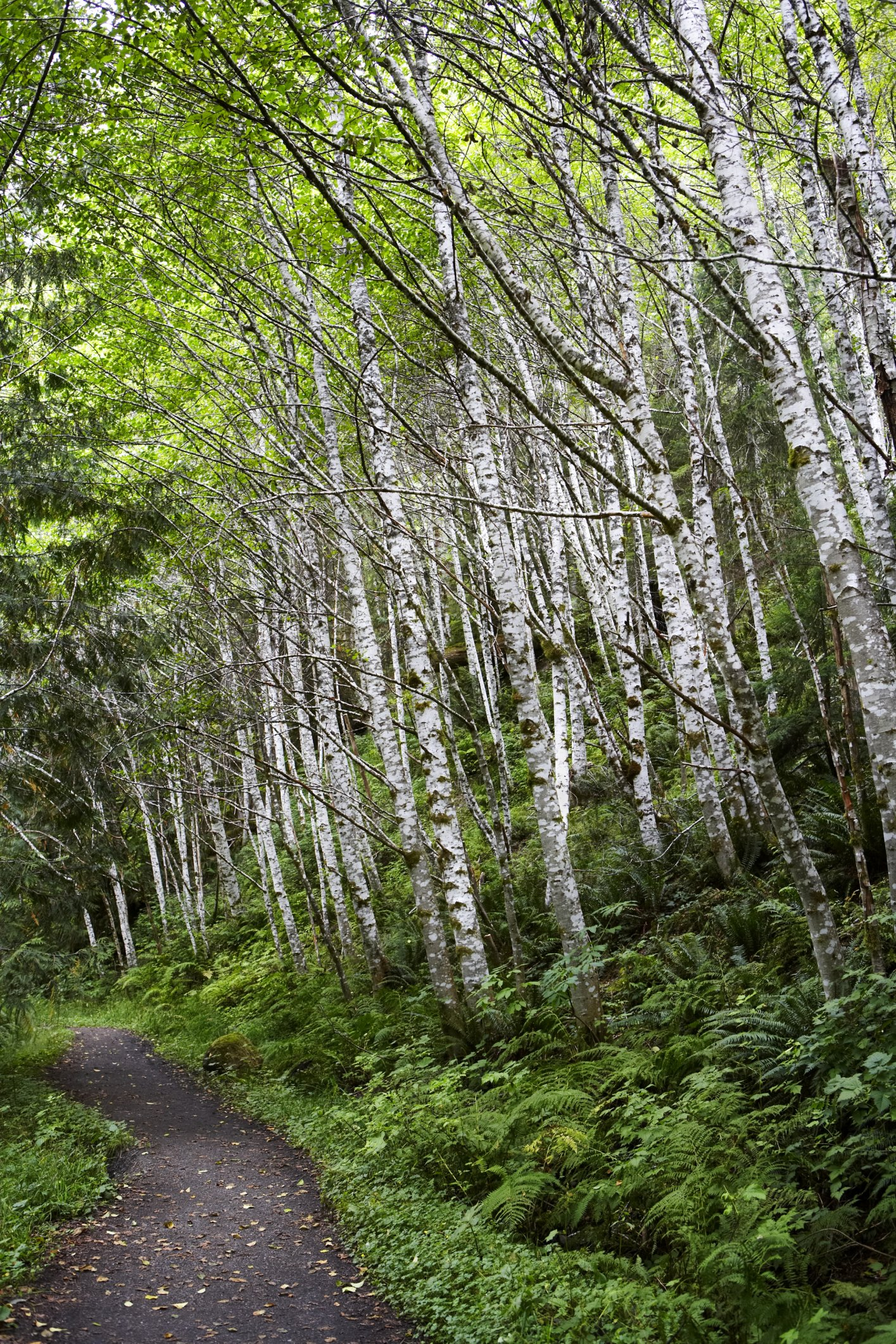 Paper Birch Trees In Pacific Northwest Landscaping Ehow