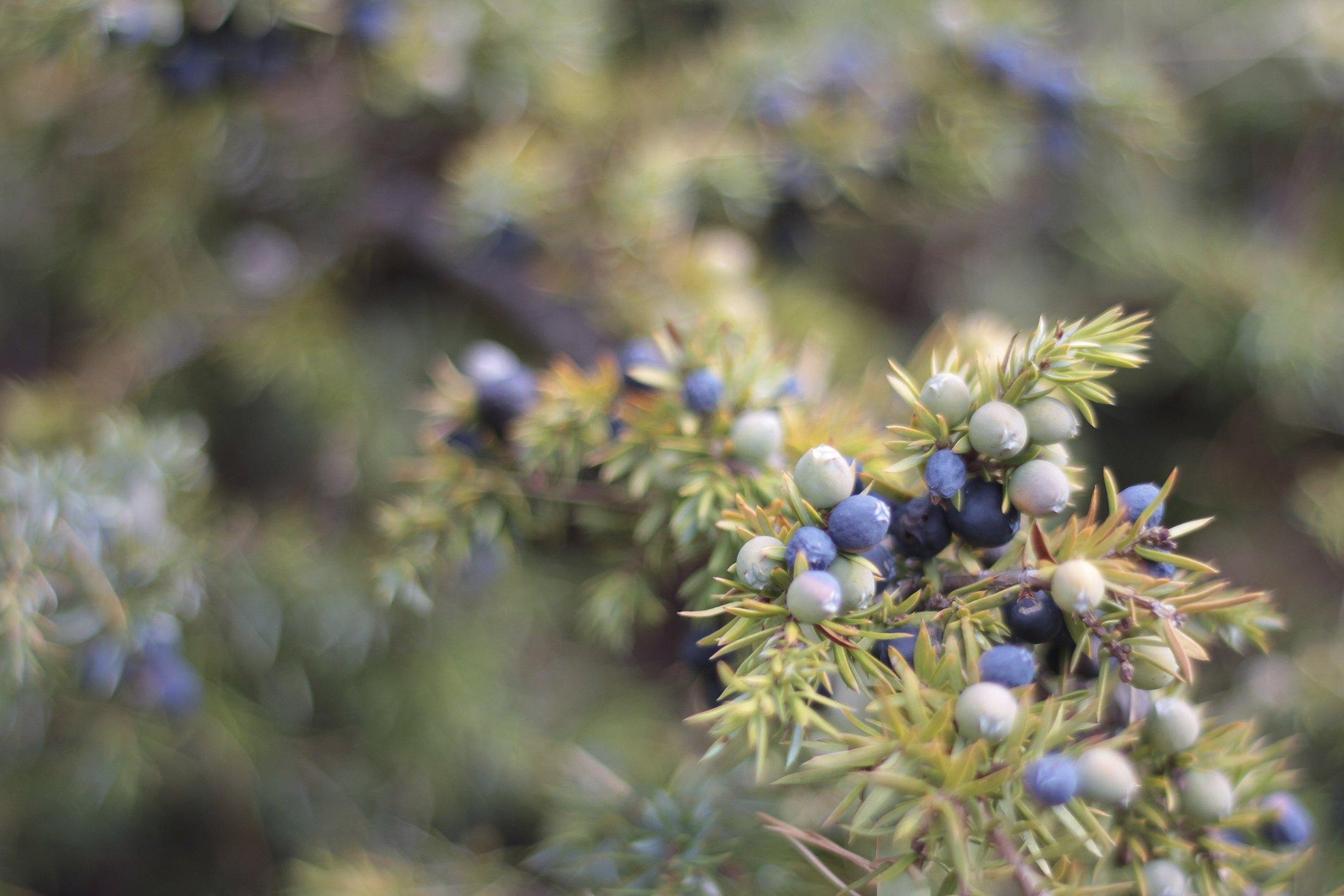 Juniper Tree Facts Ehow