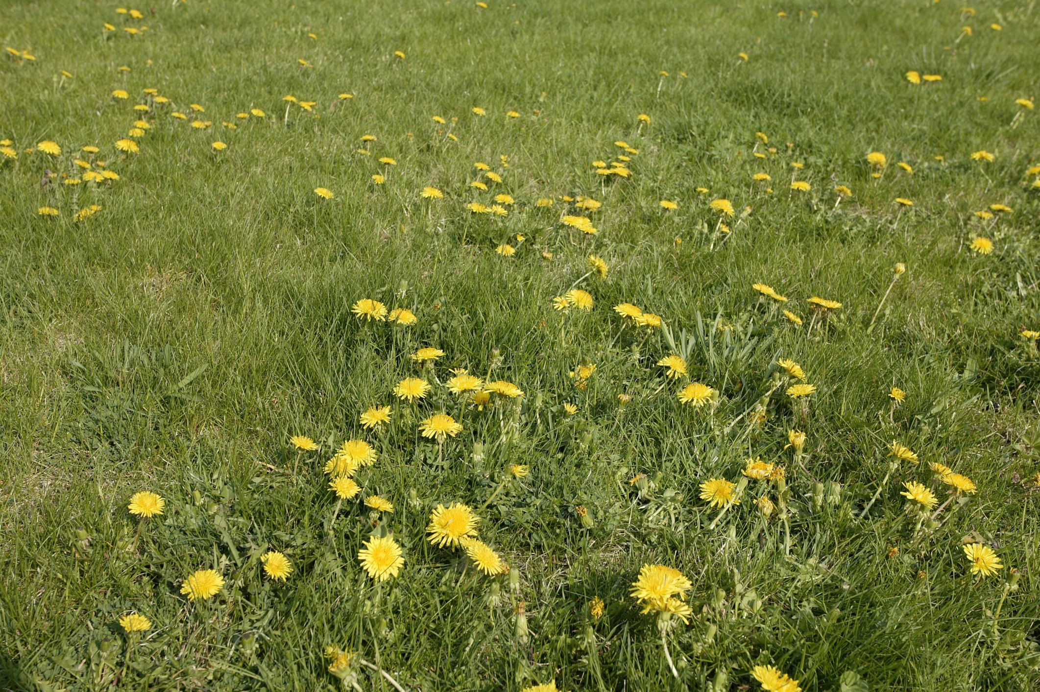 how long does it take for weeds to die after applying weed feed ehow. Black Bedroom Furniture Sets. Home Design Ideas