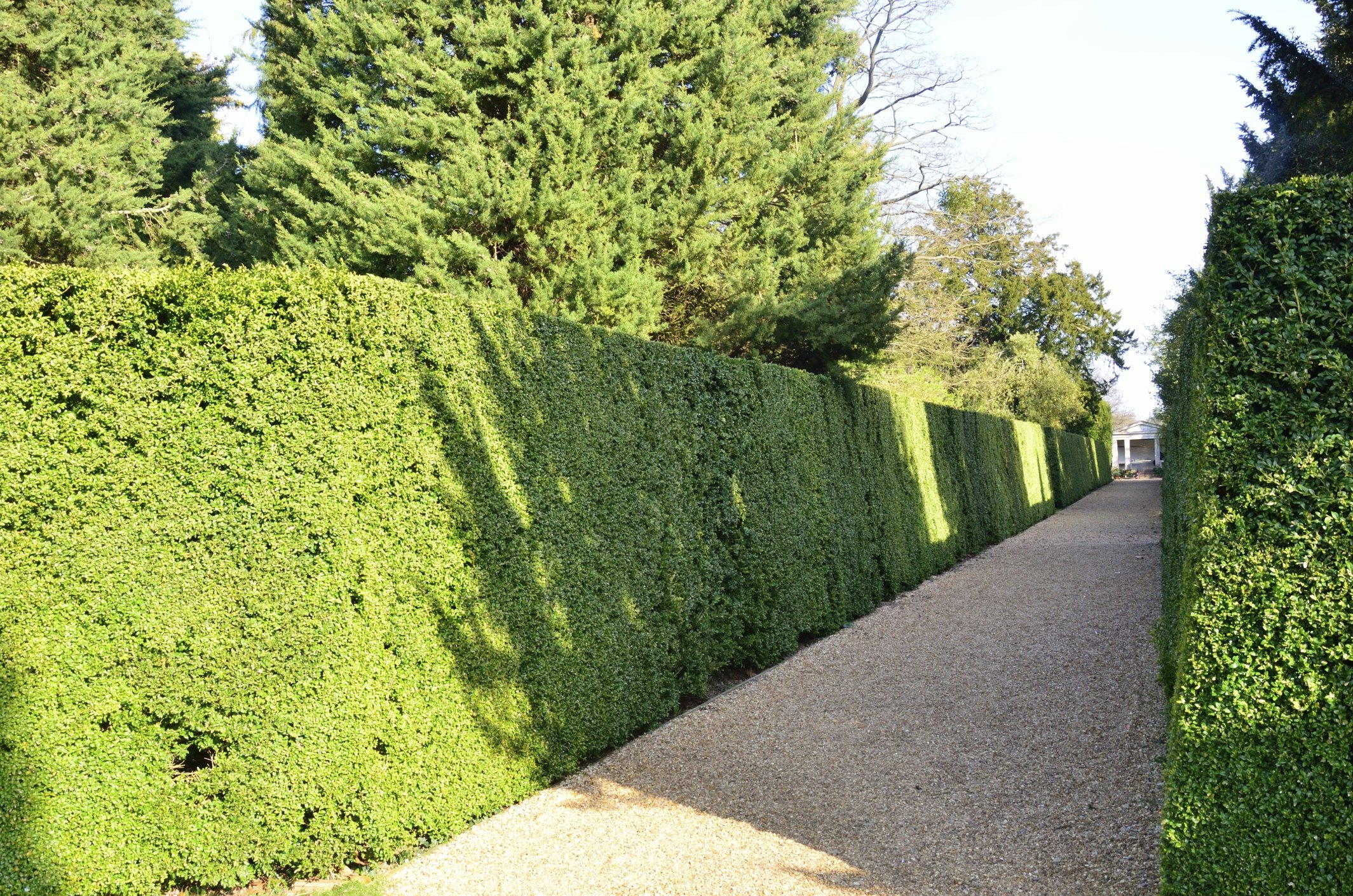Hedge Bushes: Different Types Of Hedges (with Pictures)