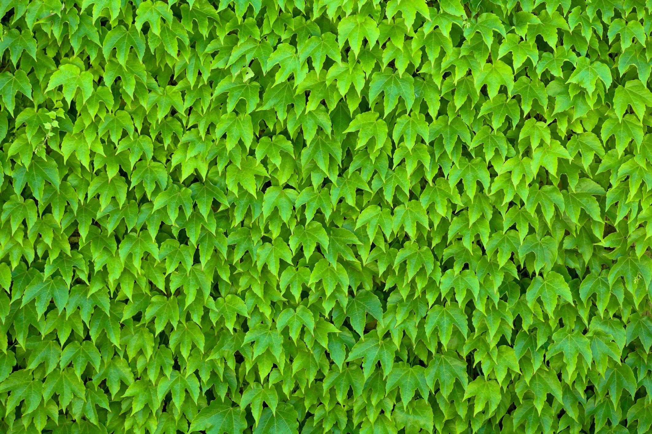 Nonflowering Climbing Vines