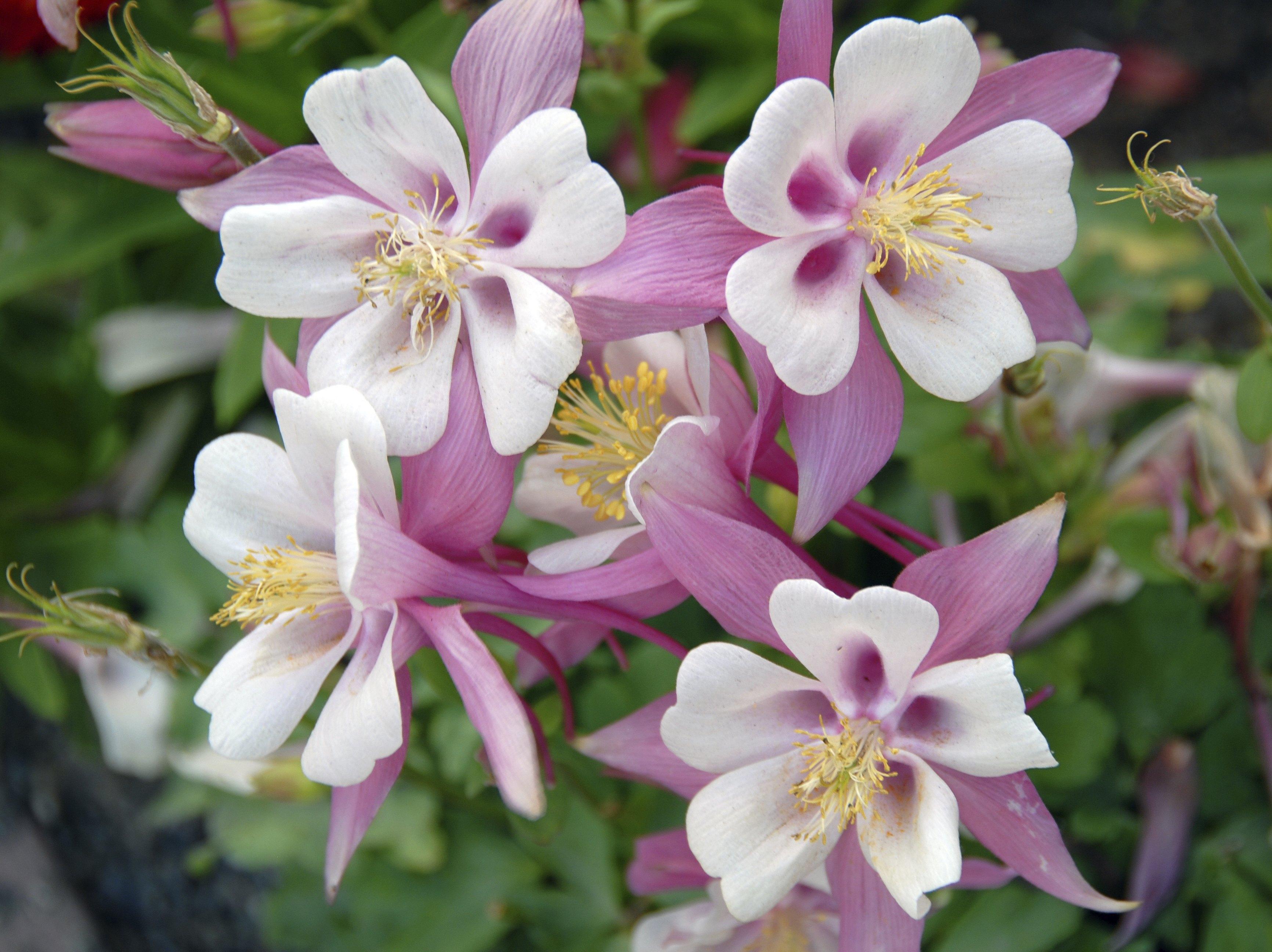 How to prune columbine aquilegia ehow izmirmasajfo Images