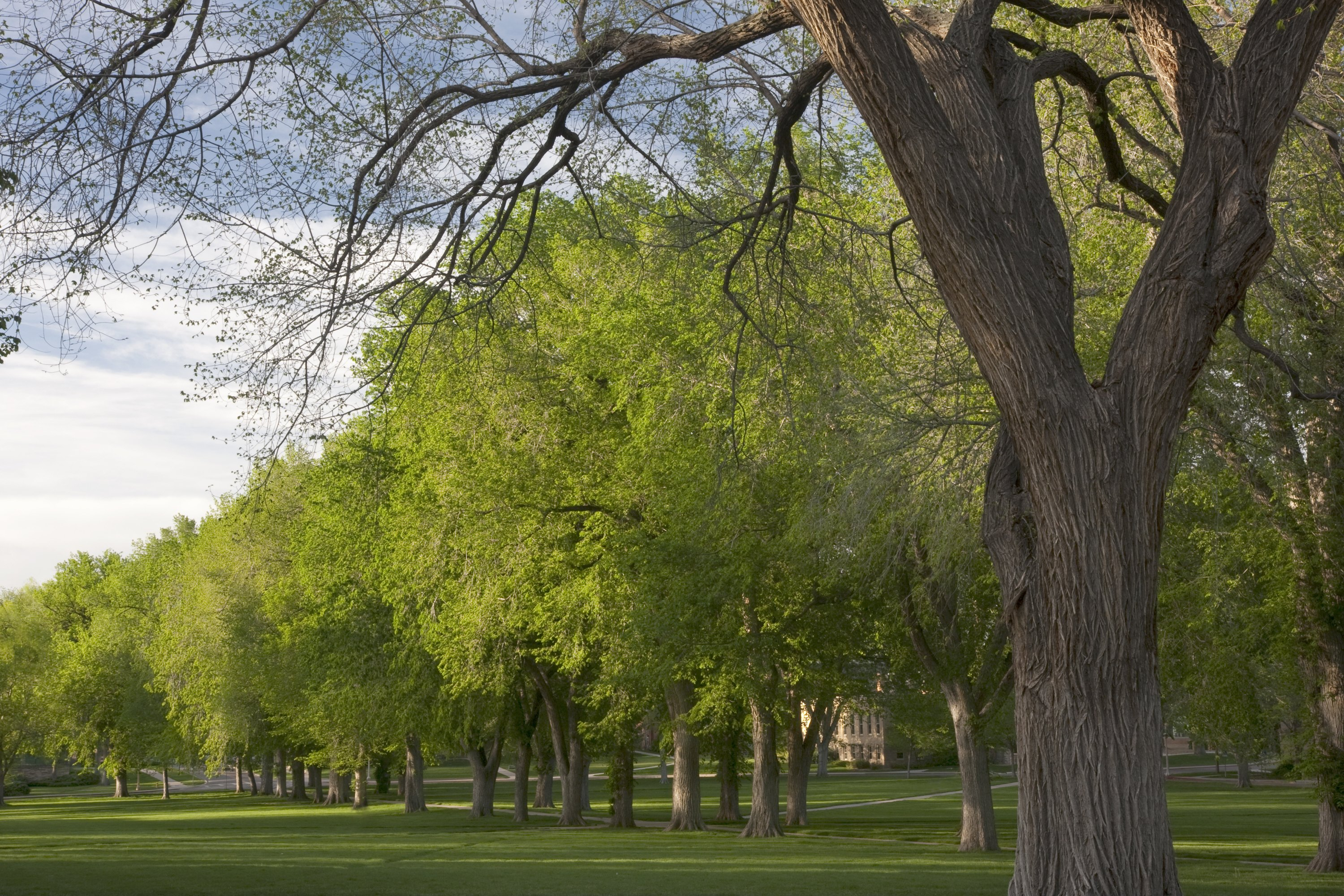 American Elm Tree Facts Ehow