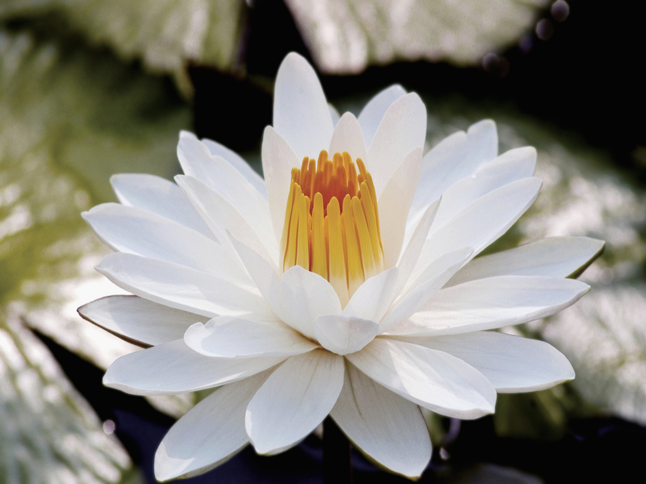How To Pick Water Lilies Ehow