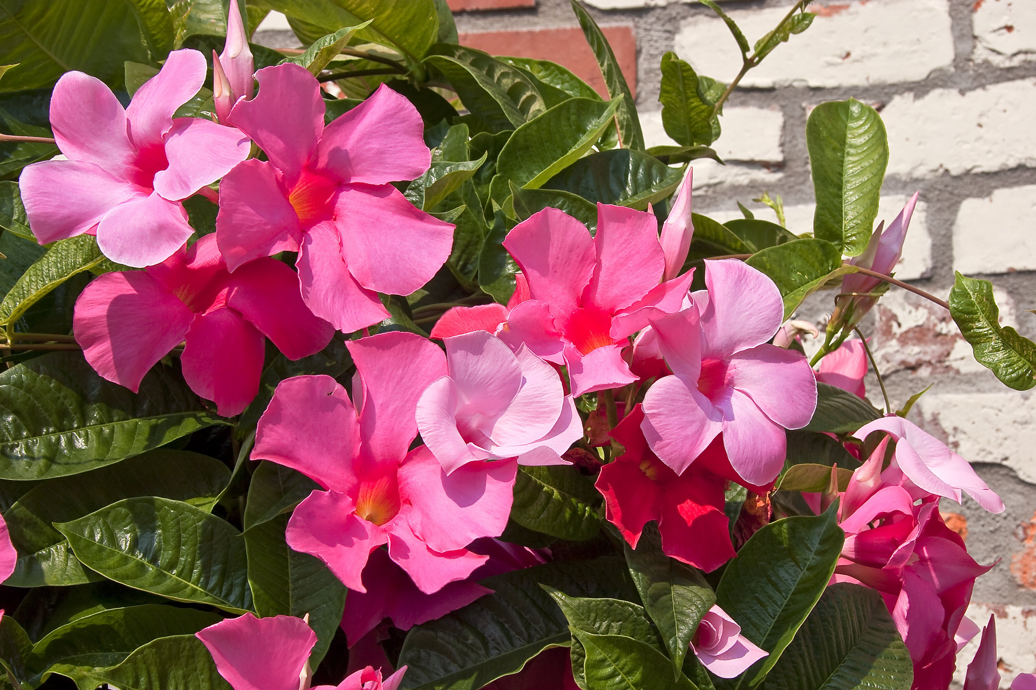 Are Mandevilla Flowers Toxic Ehow