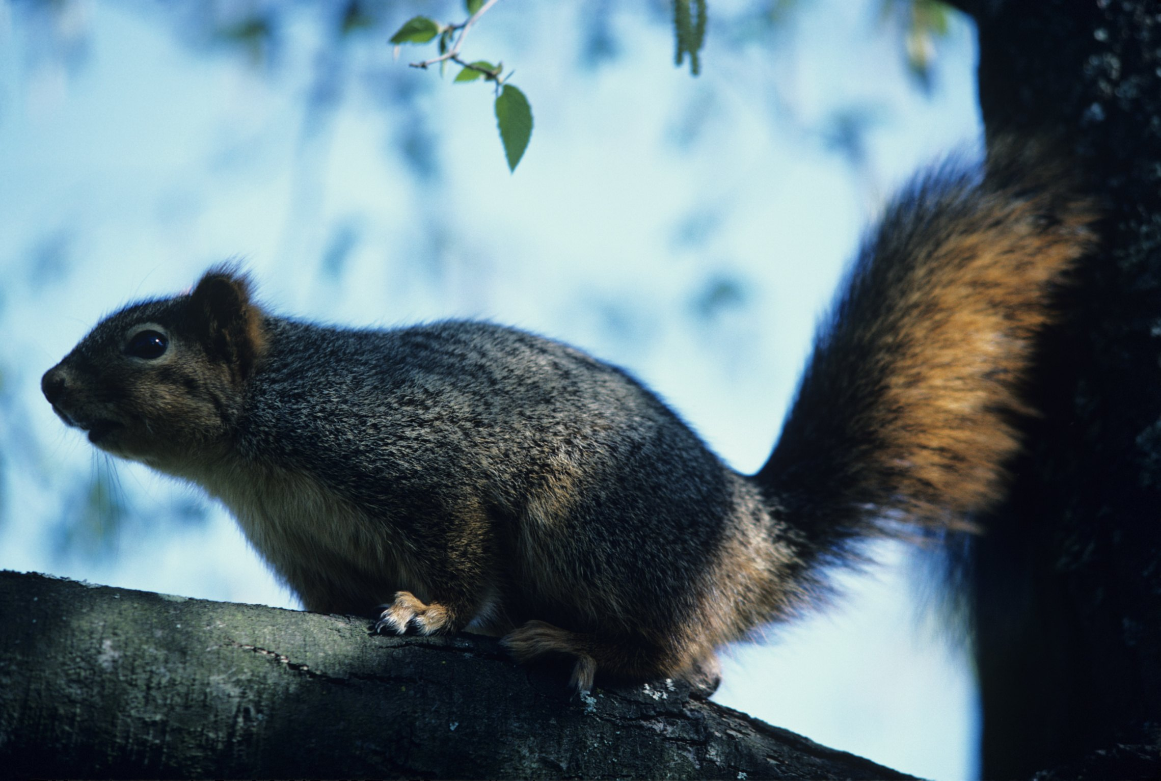 Will Mothballs Help Keep Squirrels Out Of Attics Ehow