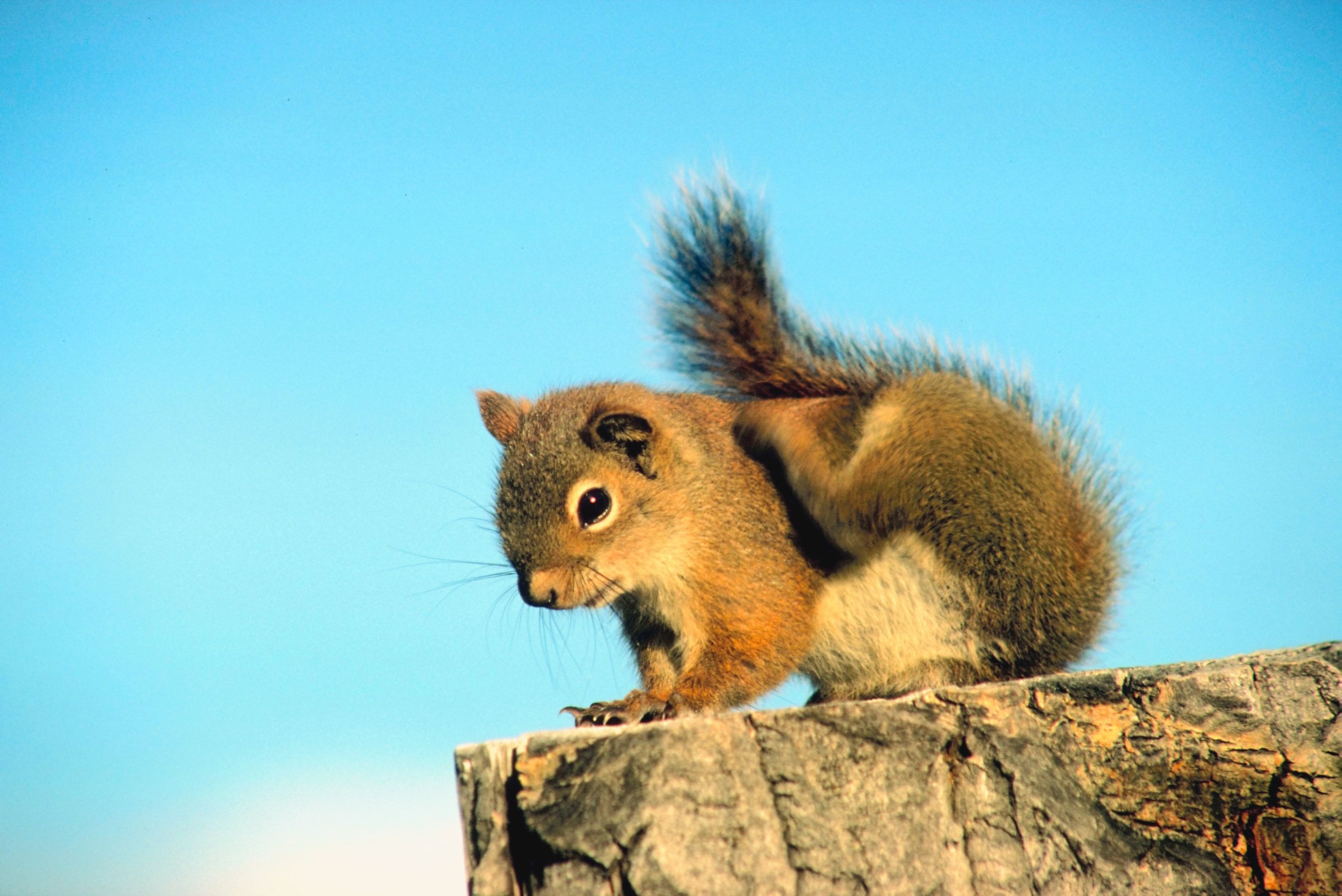 Red Pine Squirrel Removal Ehow