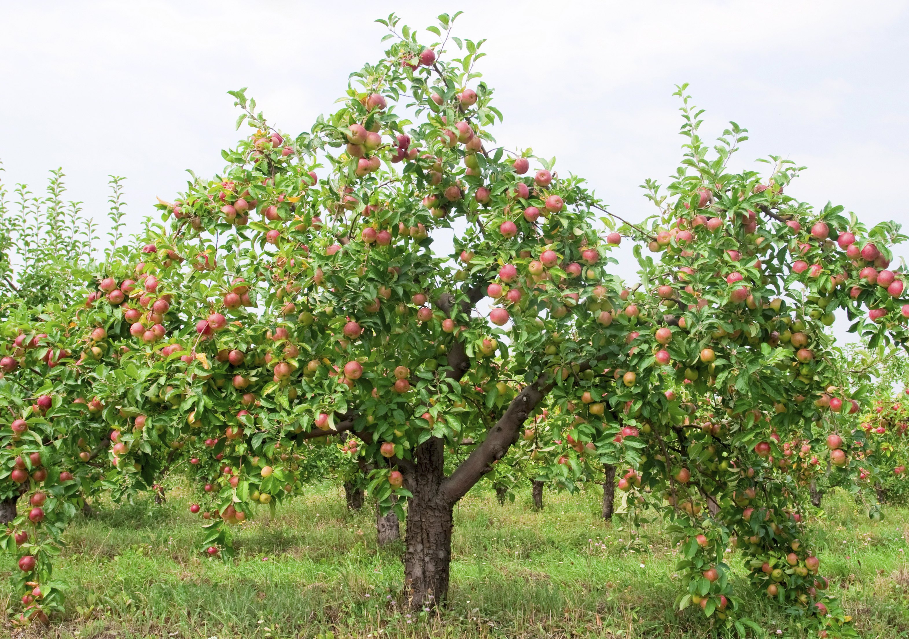 When to Fertilize Apple Trees? (with Pictures) | eHow
