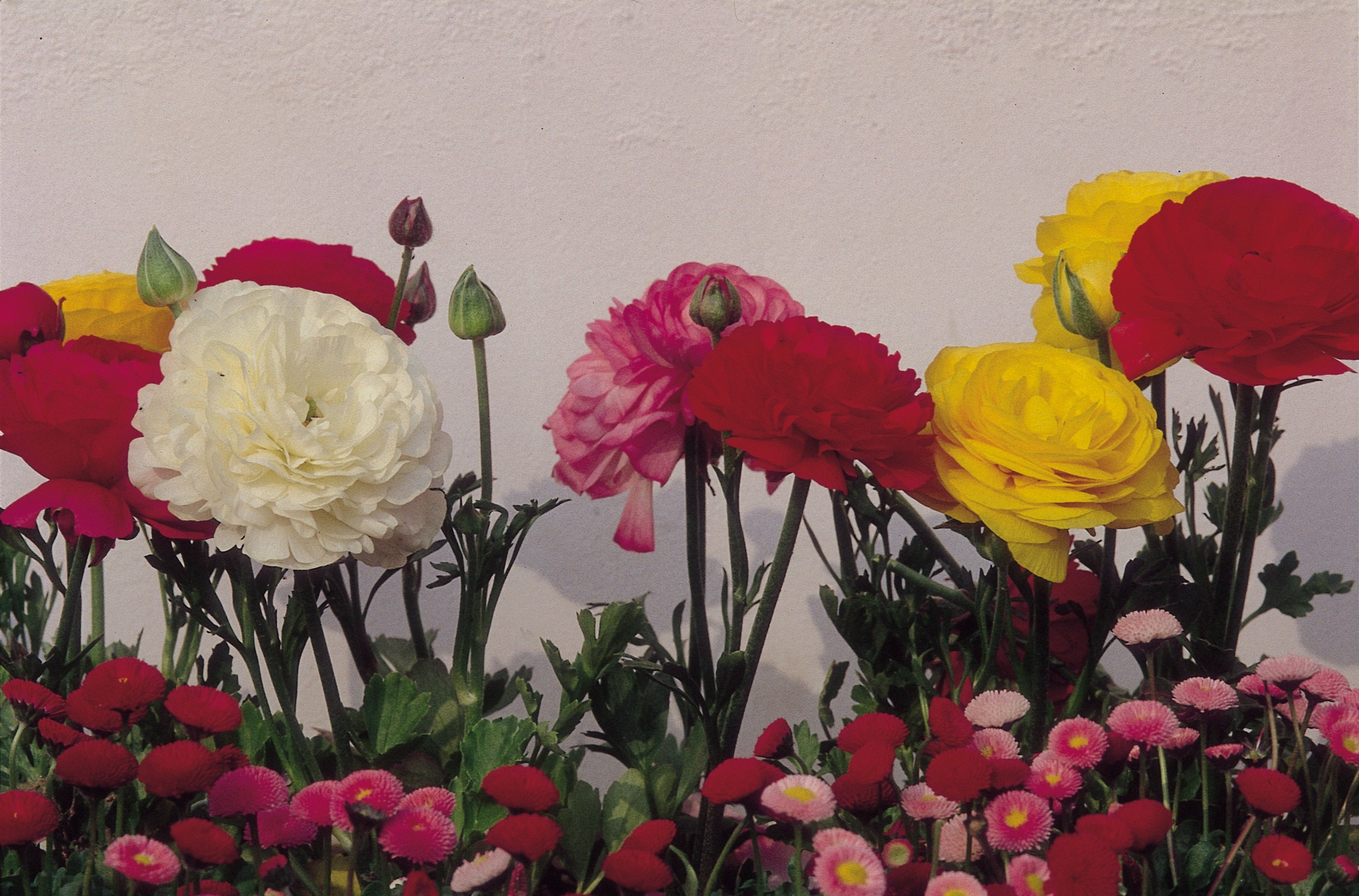 What flowers go with carnations ehow izmirmasajfo