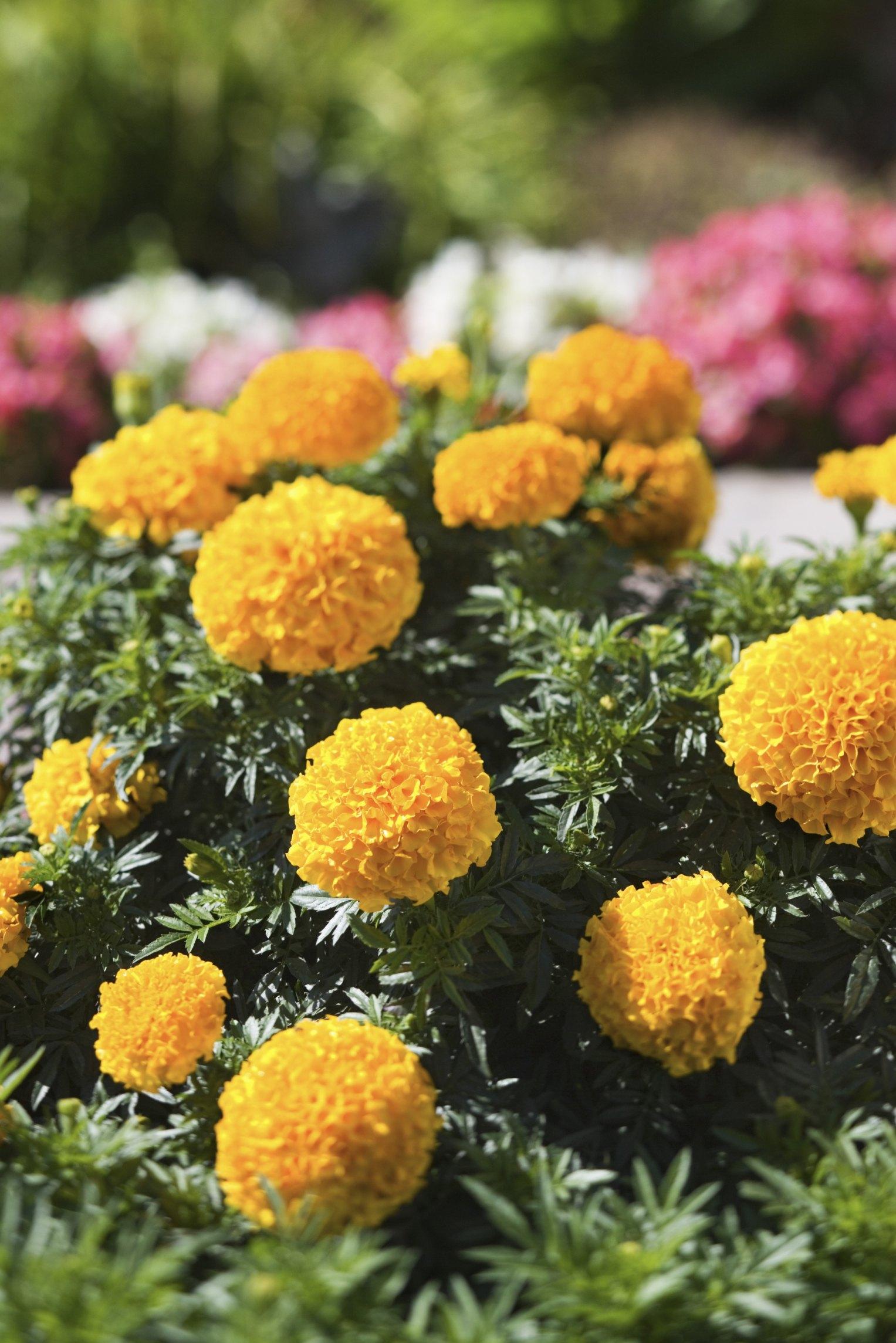 The Marigold Tarot Major Arcana The: How To Preserve Marigold Seeds From Your Garden