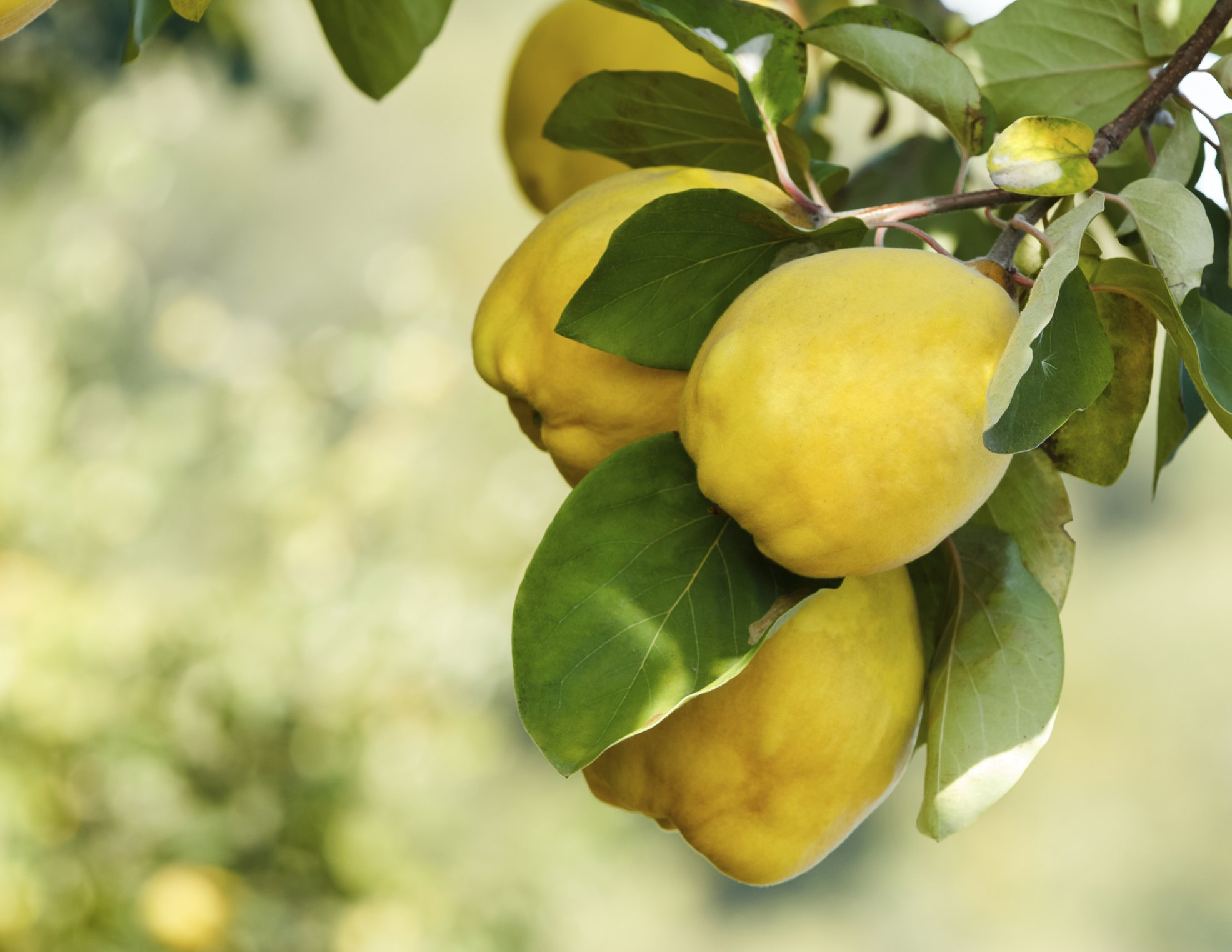 Types of quince trees ehow - Membrillo arbol ...
