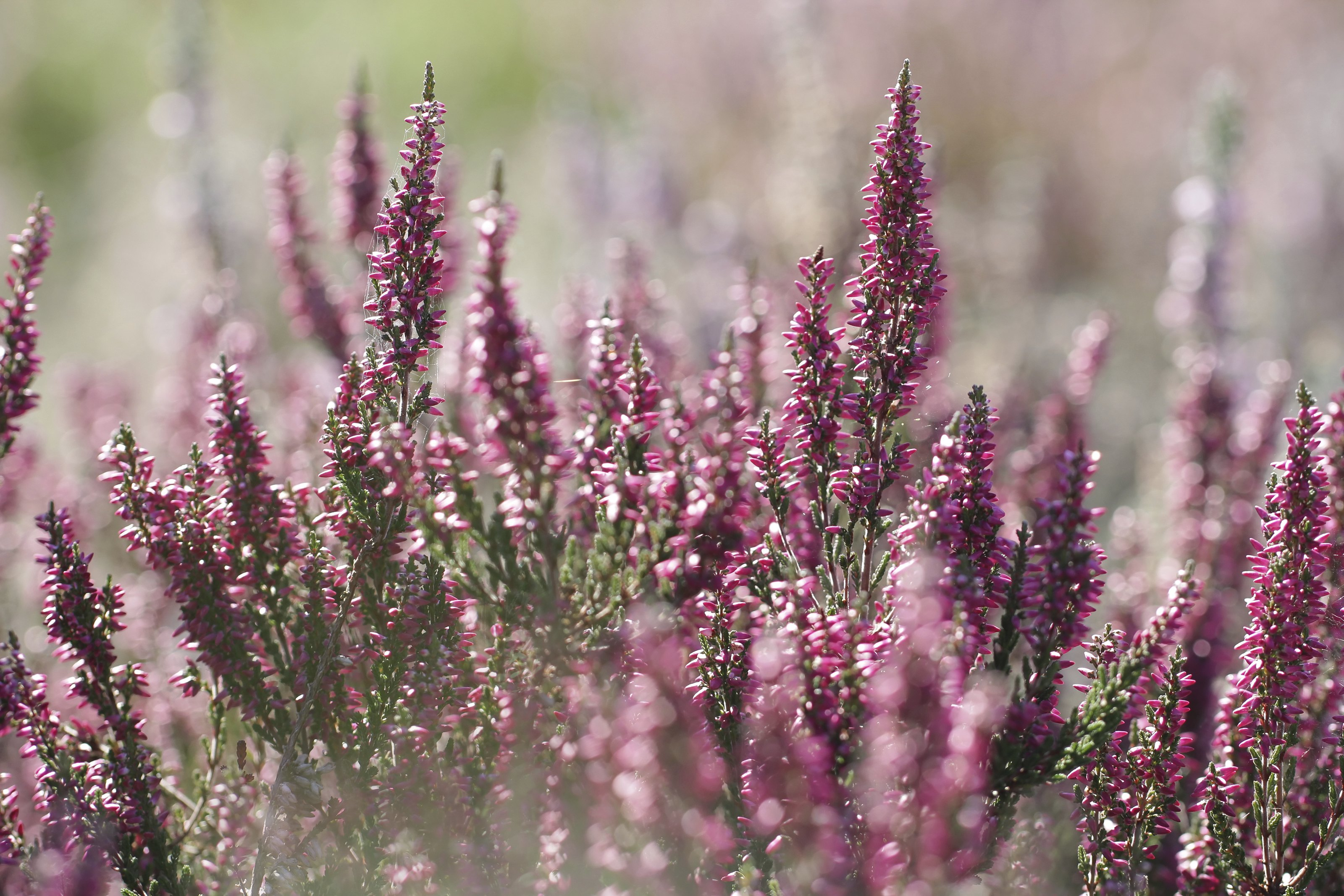 How to Care for Heather Plants | eHow
