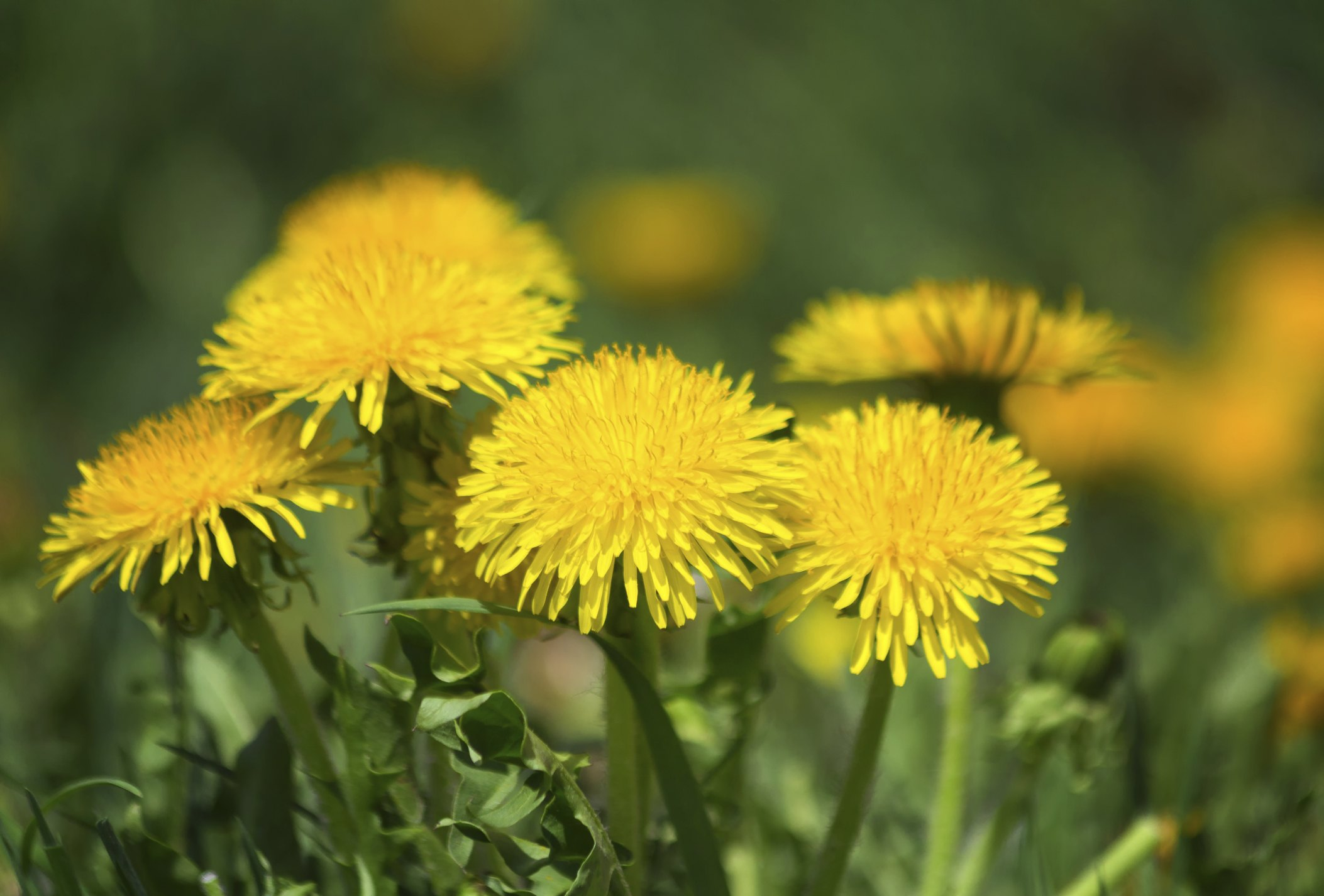 Flowers That Look Like Dandelions Ehow